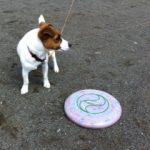 我が家の娘犬…次女となる愛犬『ジャックラッセル テリア』まだ、9ヶ月。