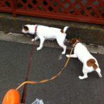 仲良し!!【ジャックラッセルテリア】2頭飼い。最初は大変でしたが…。