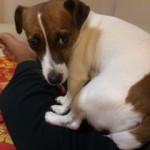 甘えん坊さんの次女犬、ノア。癒される!