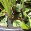 【ガサガサ】した時に捕まえたヤゴがトンボに成長しました。