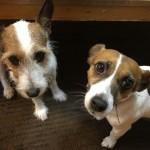 我が家の愛犬、癒しのジャックラッセルテリアは、予防接種で…