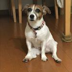 【ソックスが今季も大変な事に…】愛犬JRTの悪戯には悩まされてます。