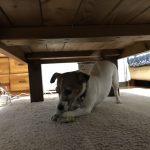 【愛犬に、ヤラレタっ】目を離したのがわるかった…愛犬次女に靴下を奪われて。