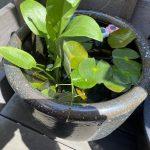 【ヒメダカ飼育が癒しの時間】水中植物にメダカ、飼育はやっぱり楽しいのだ。