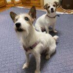 【愛犬ジャックラッセルテリア達】毎日癒されてます。最愛の娘犬‼️